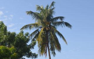 Die Palmen tragen viele Früchte - hier werden sie gerade von einem Jungen gepflückt.